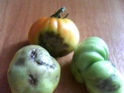 Что делать если в теплице чернеют помидоры: 5 рекомендаций