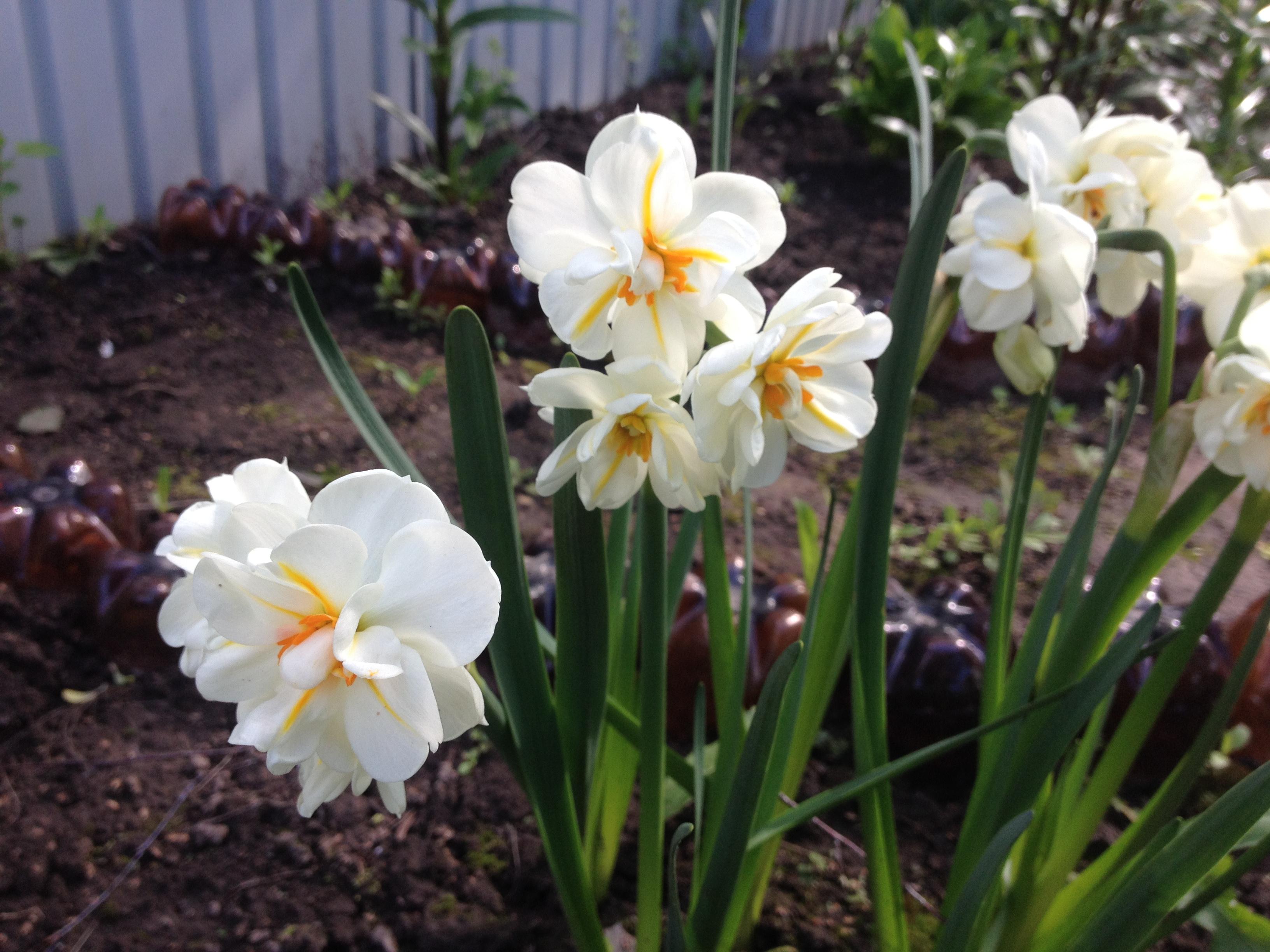 Нарцисс: сорта, фото, посадка, уход, выращивание и обрезка
