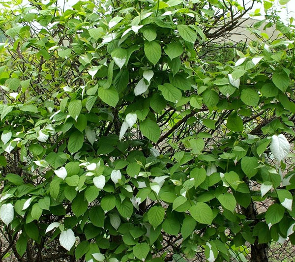 Всё про выращивание актинидии коломикта: сорта, посадка и уход
