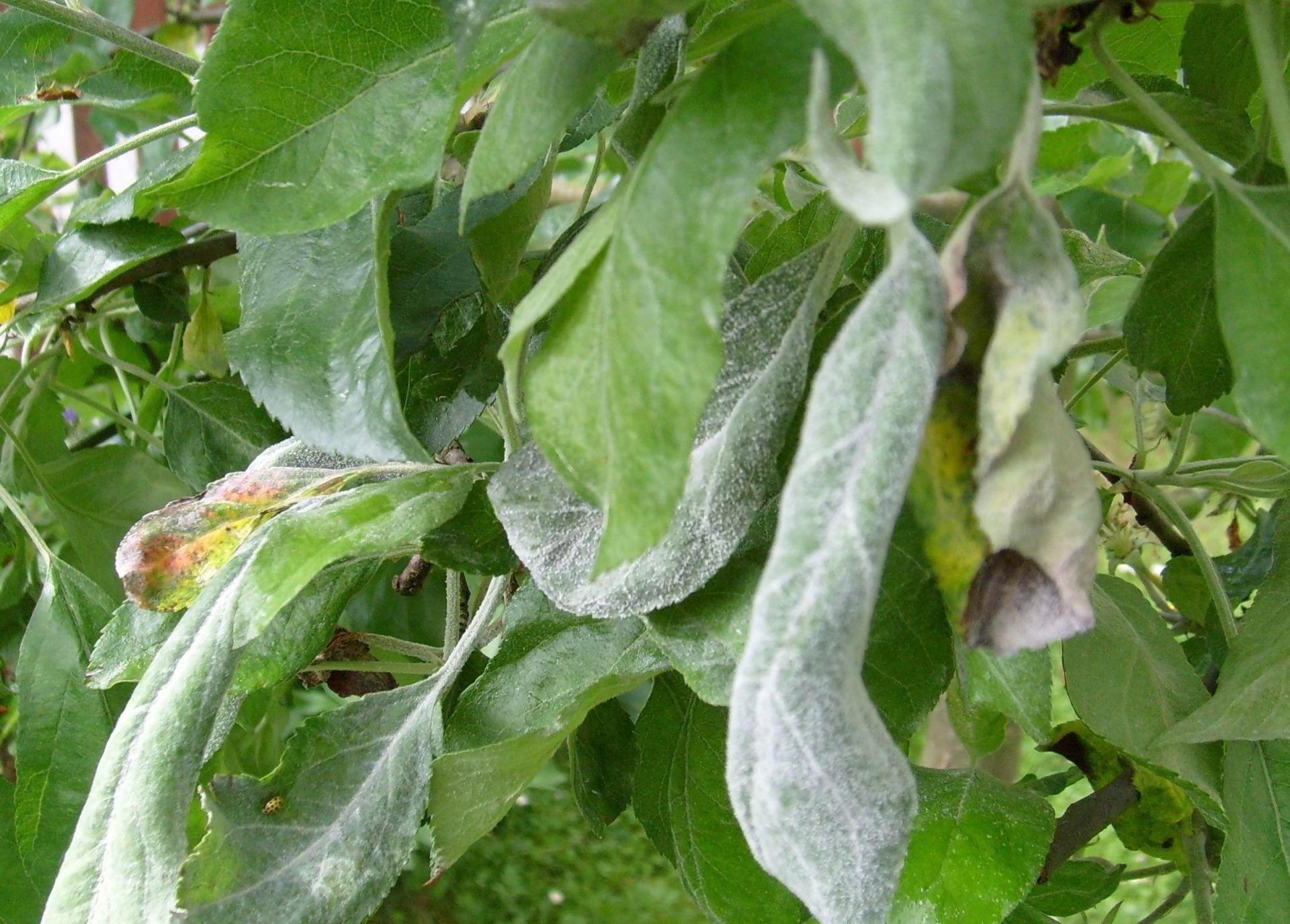 Листья на яблоне коричневеют и засыхают - что делать
