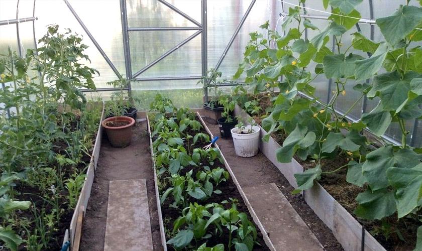 Что посадить в теплице вместе с помидорами