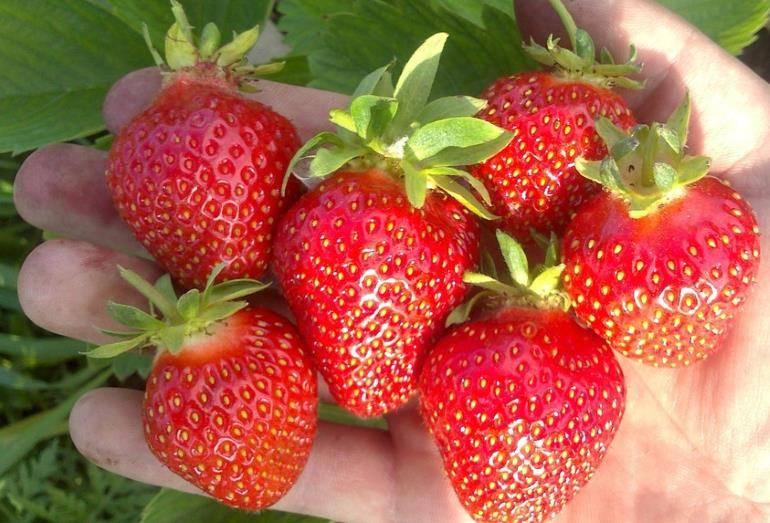 Клубника клери - описание сорта садовой земляники, фото и отзывы