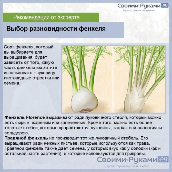 Фенхель выращивание из семян посадка и уход в открытом грунте сроки посадки фенхель на рассаду