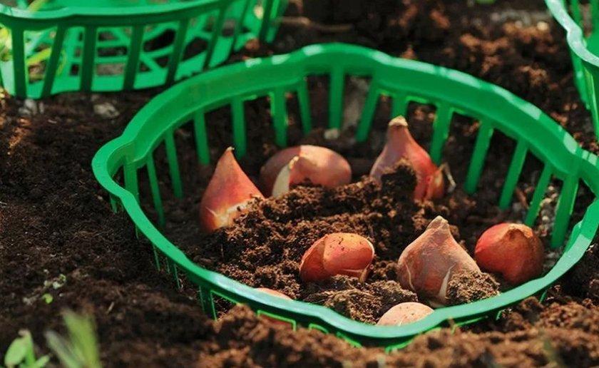 Посадка тюльпанов в корзины для луковичных