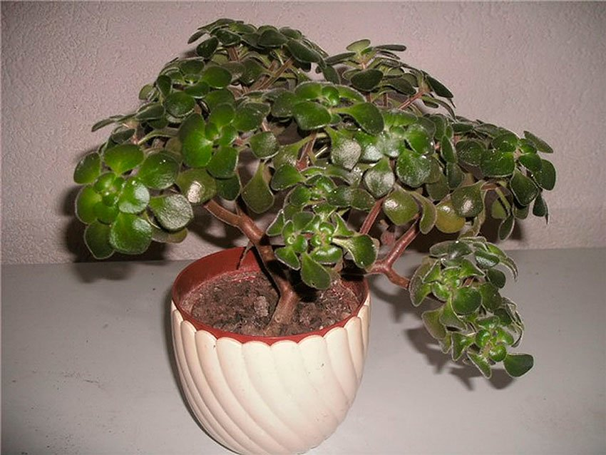 Аихризон – дерево любви: уход в домашних условиях, сорта с фото, приметы и суеверия о цветке