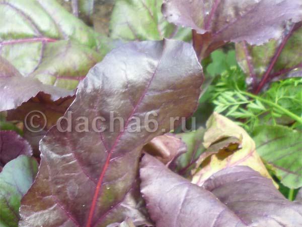 Почему могут сохнуть листья у свеклы? | огородник что делать, если у свеклы сохнут листья? | огородник