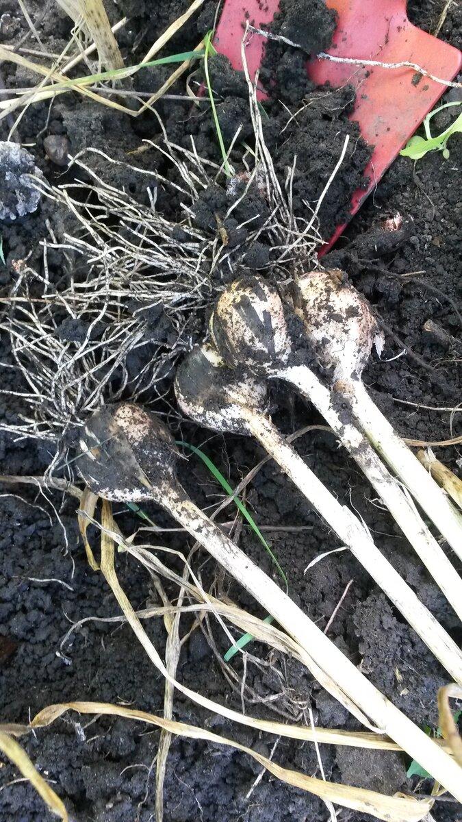 Чеснок, который сажают целыми головками: описание сортов, выращивание с фото