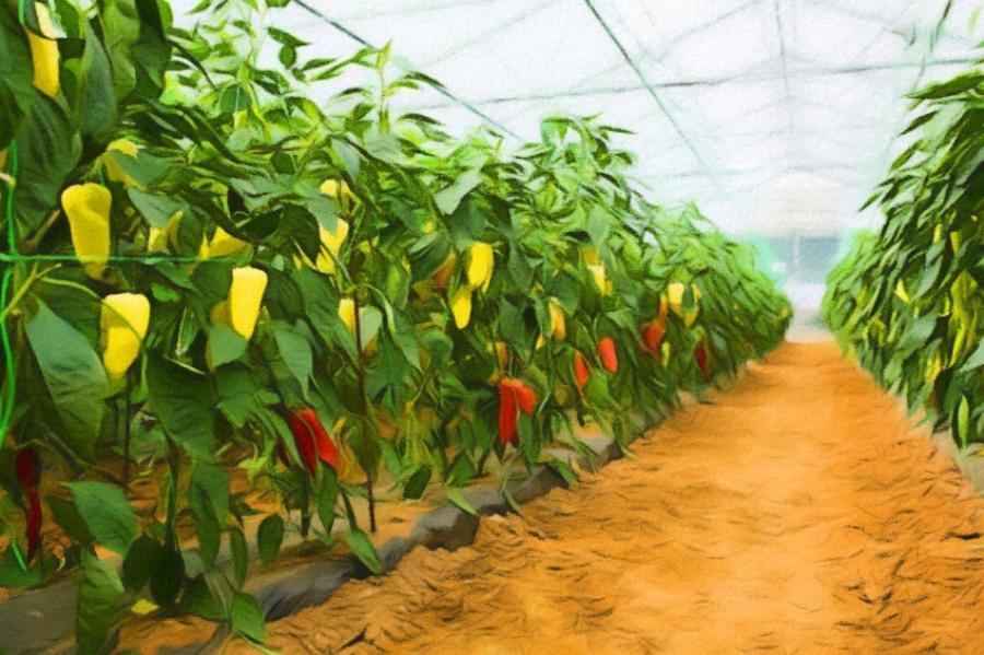Выращивание баклажанов в теплице: технология и секреты опытных огородников