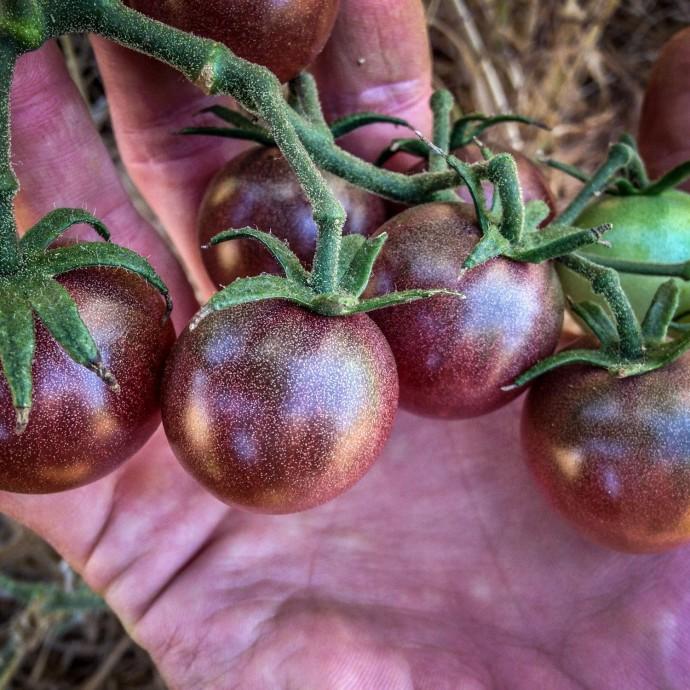 Томат чёрный принц: как расщедрить заморского гостя на хороший урожай