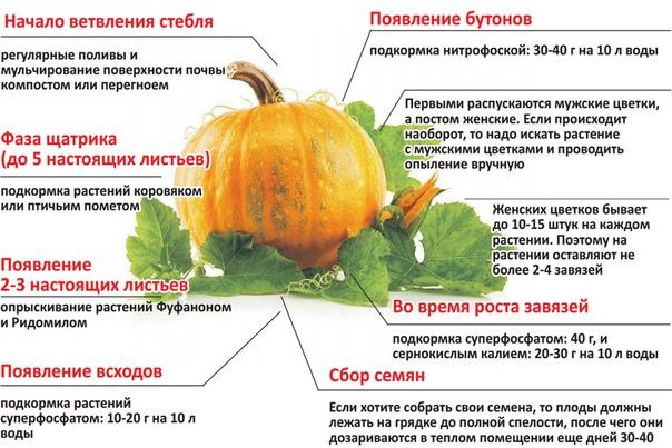Чем и как подкормить арбузы