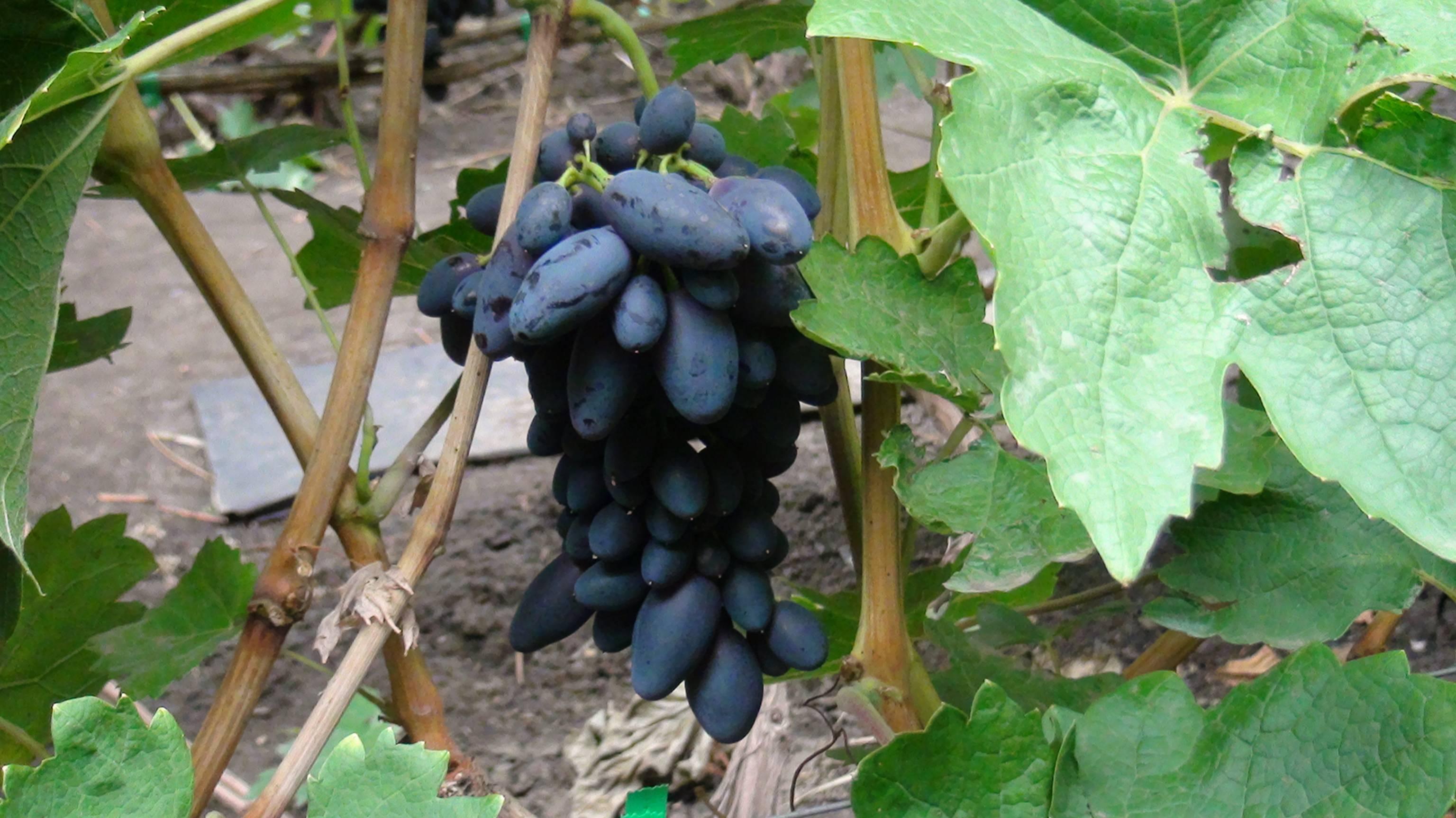 Особенности винограда молдова: описание сорта и нюансы агротехники