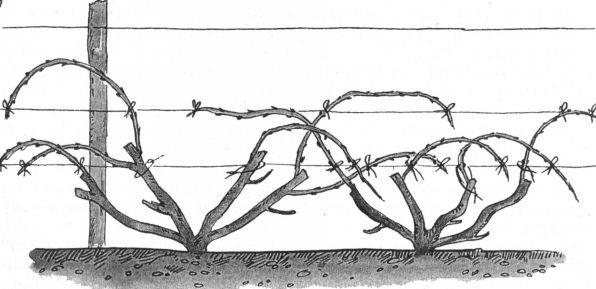 Как правильно подвязывать виноград, особенности подвязки весной, советы для начинающих