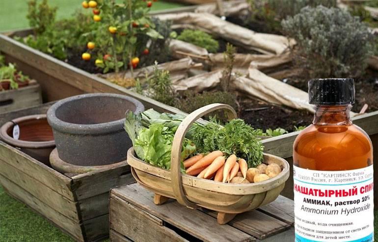 Морковь и нашатырь: можно ли подкормить этим спиртом, как проводить полив, какие нужны пропорции раствора, полезное влияние обработки и применение аммиака русский фермер