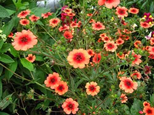 Лапчатка: посадка и выращивание, виды и сорта
