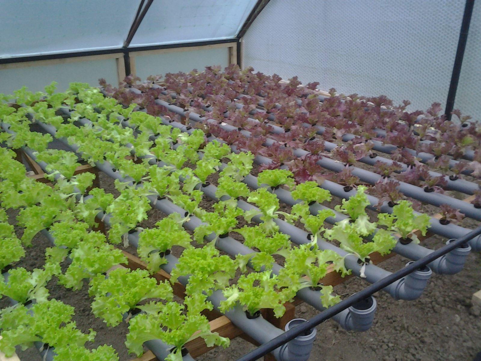 Правила выращивания кинзы в теплице зимой на продажу