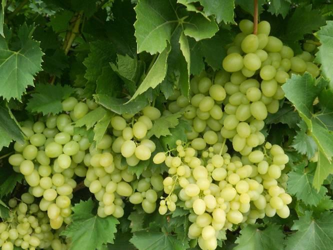 Виноград платовский: описание сорта и история, выращивание, сбор и хранение урожая