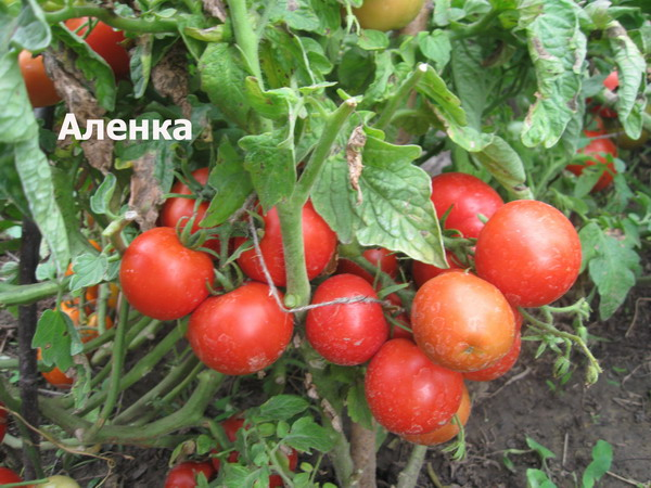 Томат алези: описание, характеристика, отзывы, фото | tomatland.ru