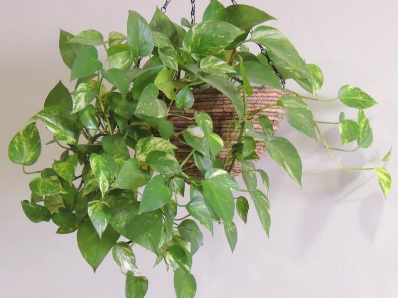 Растение эпипремнум – уход в домашних условиях