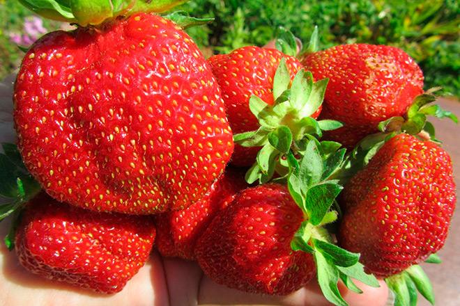 ✅ о сорте клубники ламбада: описание, агротехника выращивания, как ухаживать - tehnomir32.ru