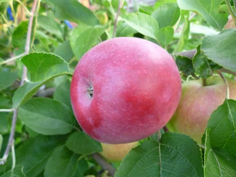 Описание сорта яблони ветеран: фото яблок, важные характеристики, урожайность с дерева