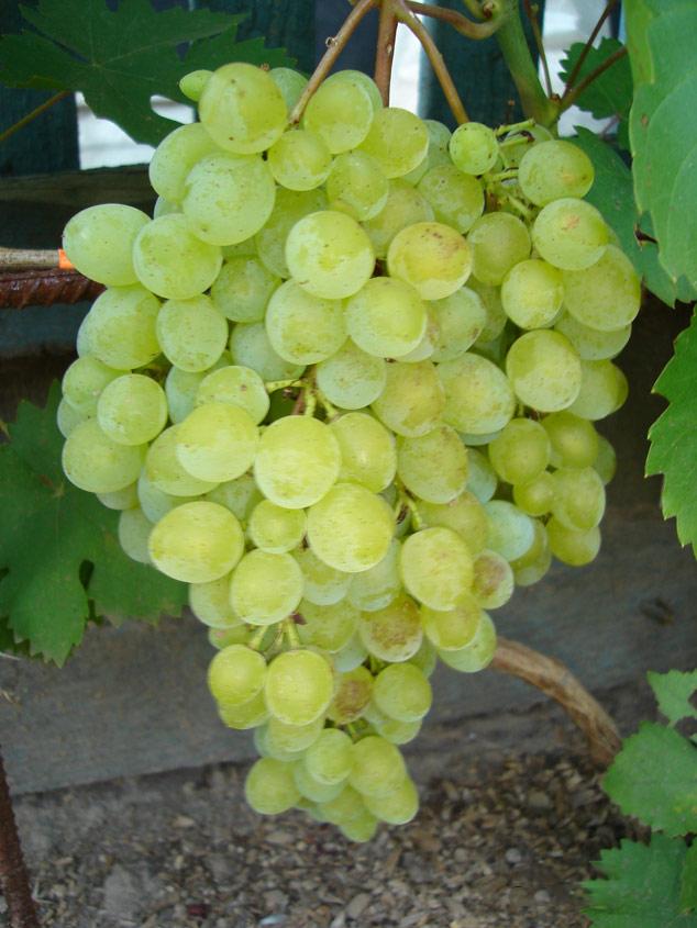 Виноград русбол - описание и особенности ухода, фото и отзывы садоводов
