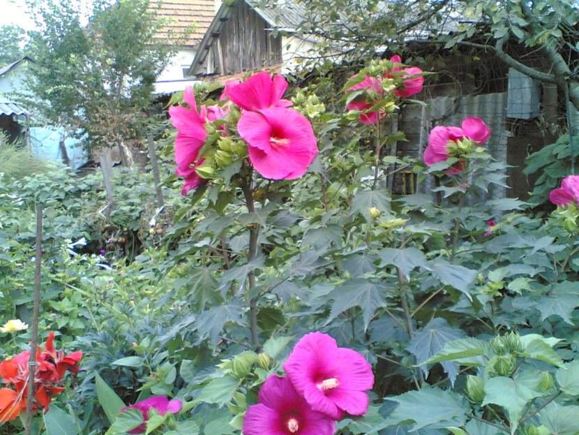Гибискус травянистый: посадка и уход, фото растений в саду гибискус травянистый: посадка и уход, фото растений в саду