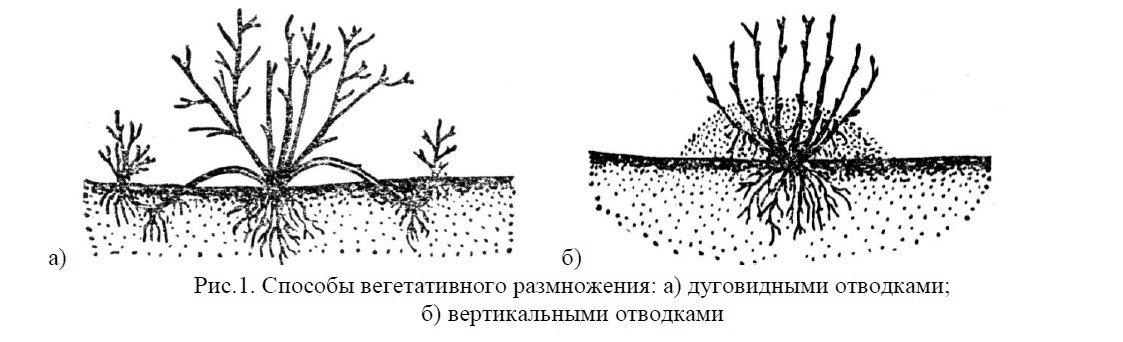 Размножение груши черенками: как вырастить дерево из ветки