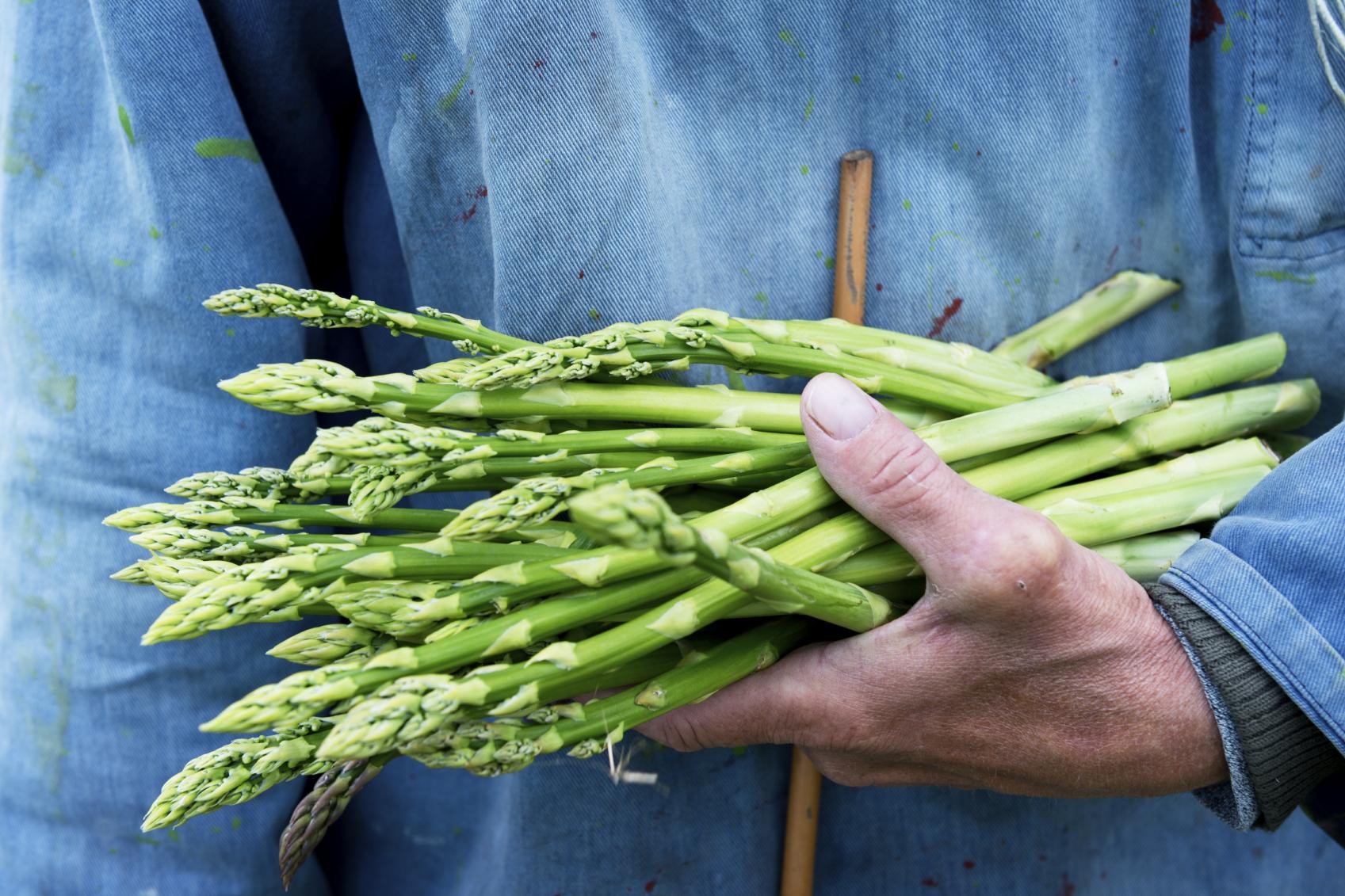 Спаржа - выращивание из семян в открытом грунте на даче и огороде: посадка и уход, фото, размножение, сорта