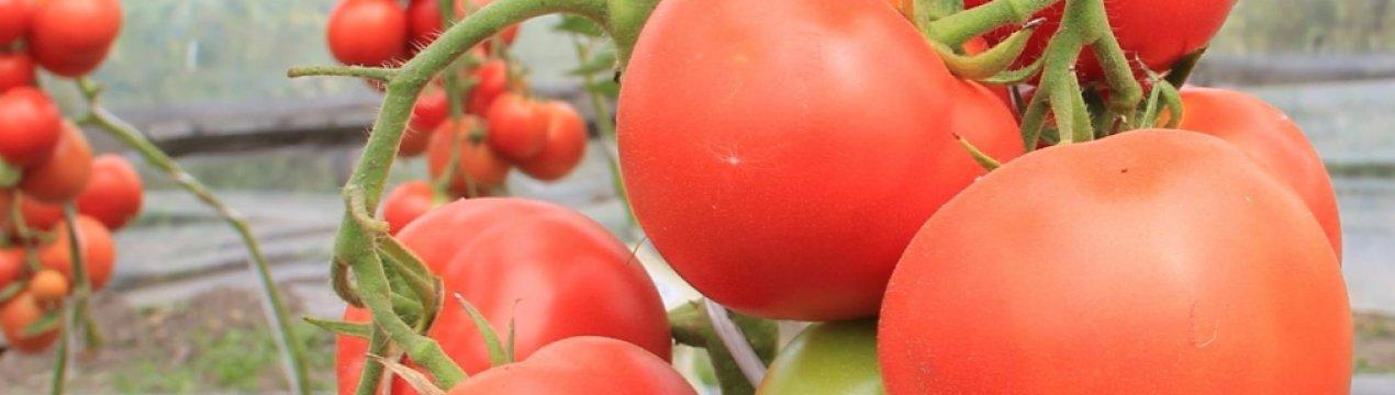 Томат первоклашка: характеристика и описание сорта, отзывы, фото, урожайность