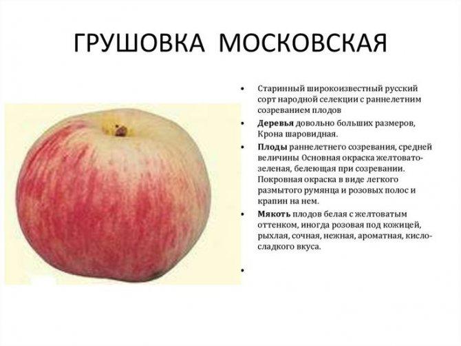 """Знаменитый сорт яблони """"коричное полосатое"""": подробное описание, фото, отзывы садоводов"""