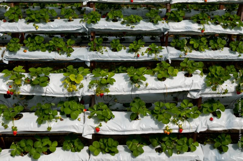 Особенности выращивания клубники в сибири