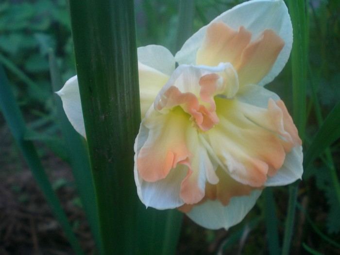 Нарцисс обдам: описание сорта и характеристики, правила посадки и ухода
