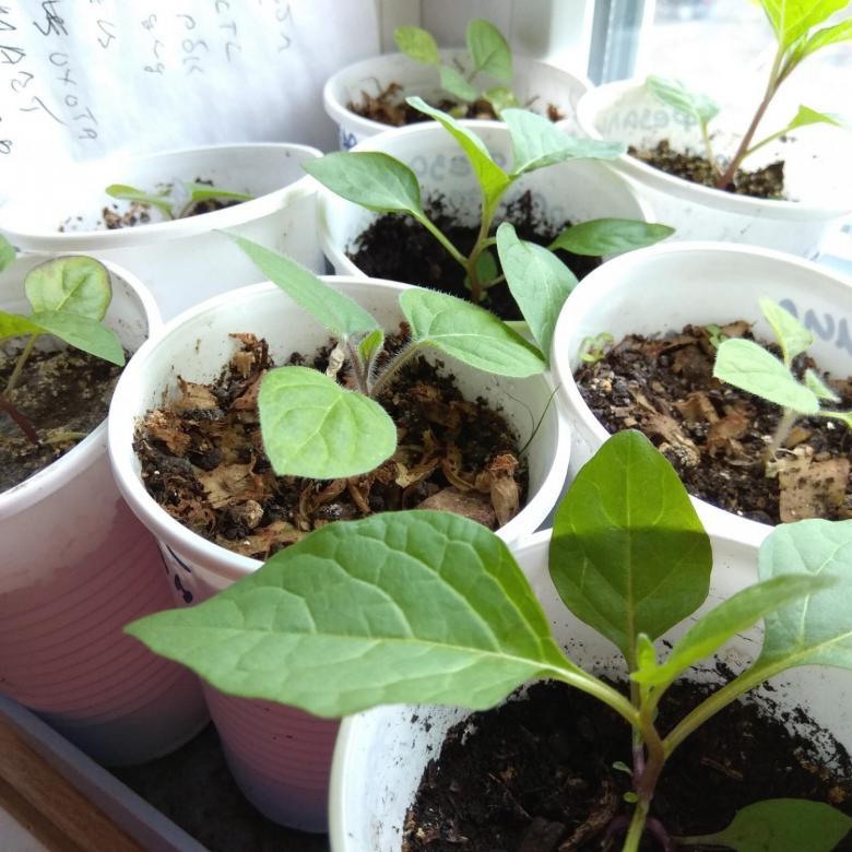 Все о посеве семян физалиса на рассаду в марте