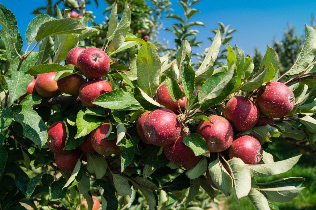 Описание сорта яблони скала: фото яблок, важные характеристики, урожайность с дерева