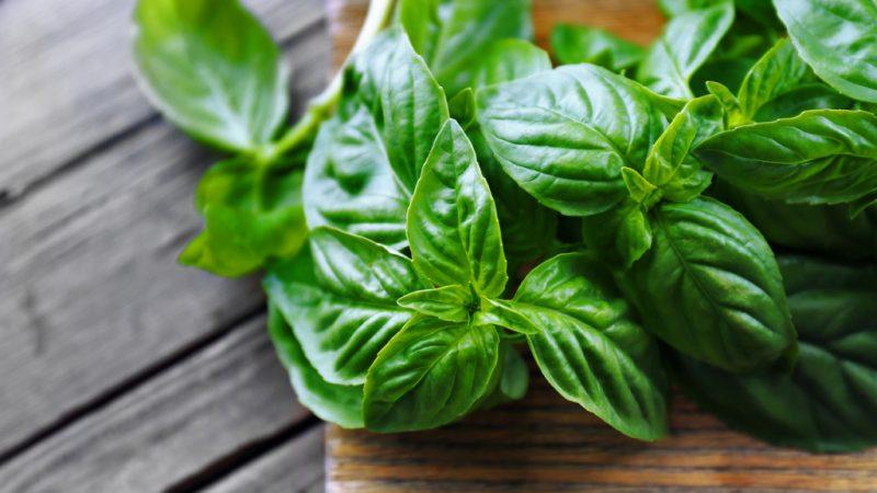 Польза и вред базилика для здоровья, свойства травы