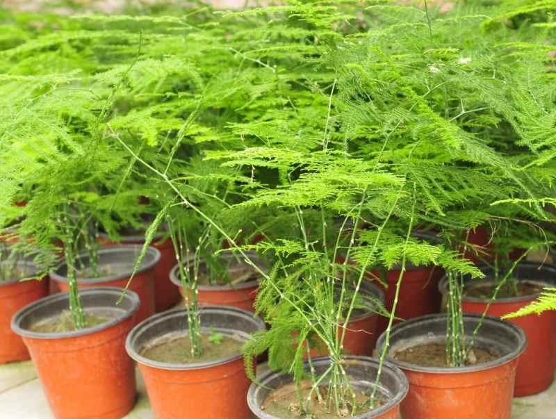 Можно ли дома вырастить аспарагус из семян?