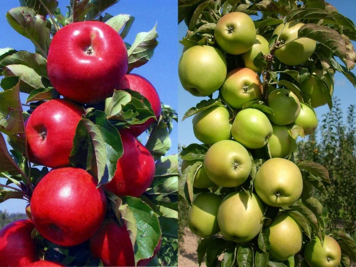 Яблоня колоновидная червонец