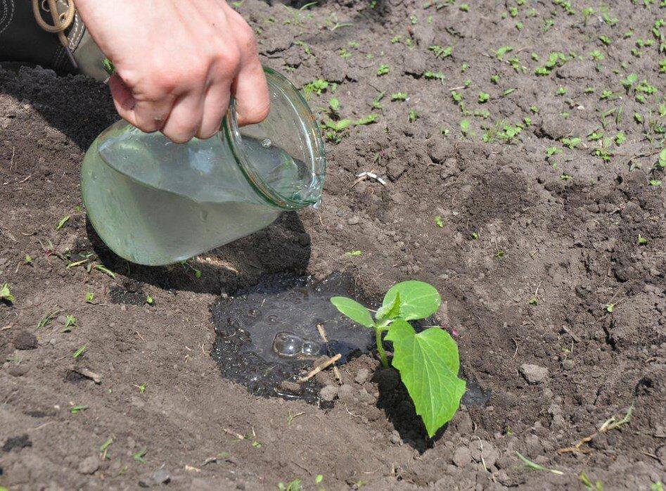 Правила полива капусты в открытом грунте
