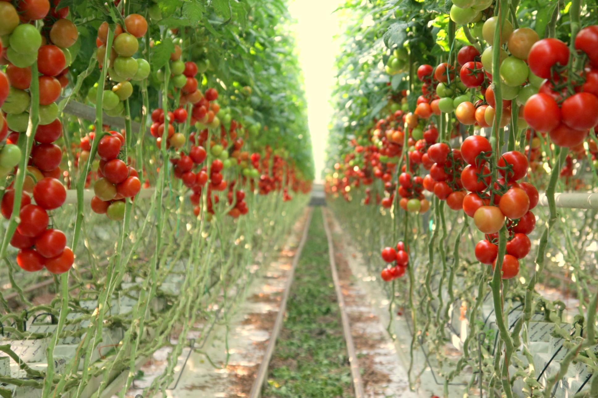Выращивание клубники по голландской технологии: инструкция, фото и видео