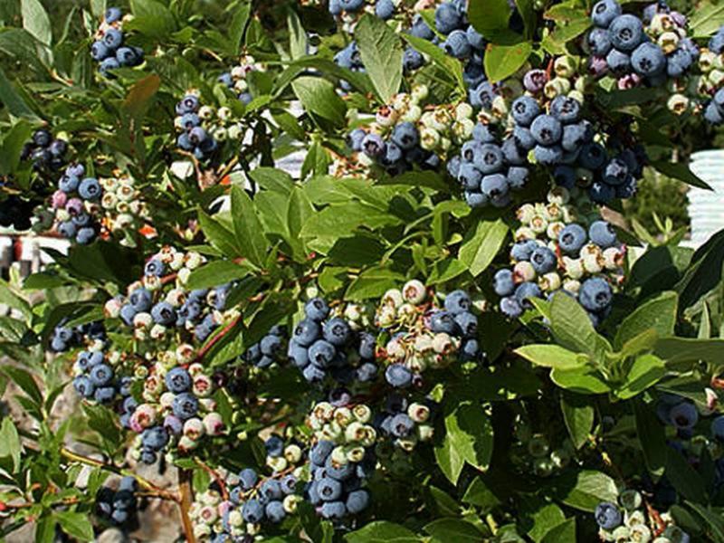 Голубика патриот: описание сорта с характеристикой и отзывами, особенности посадки и выращивания, фото