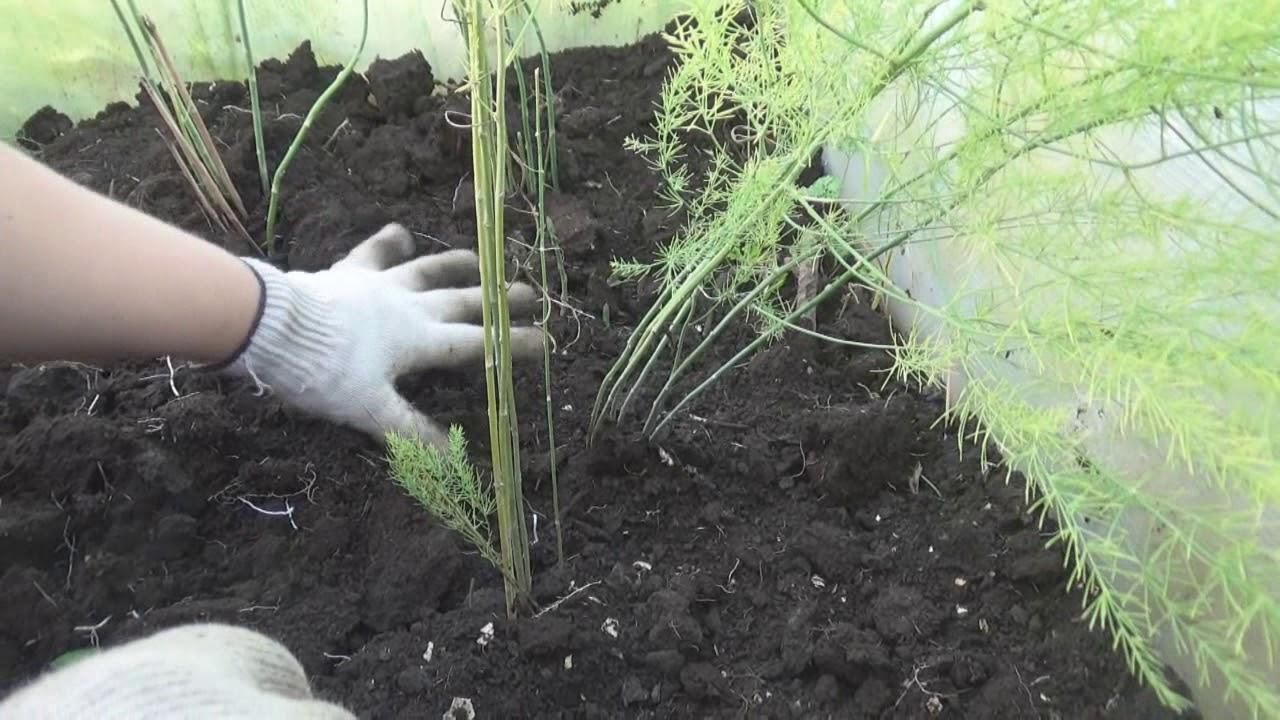 Простой способ: как вырастить на даче спаржу в открытом грунте: семенами или рассадой