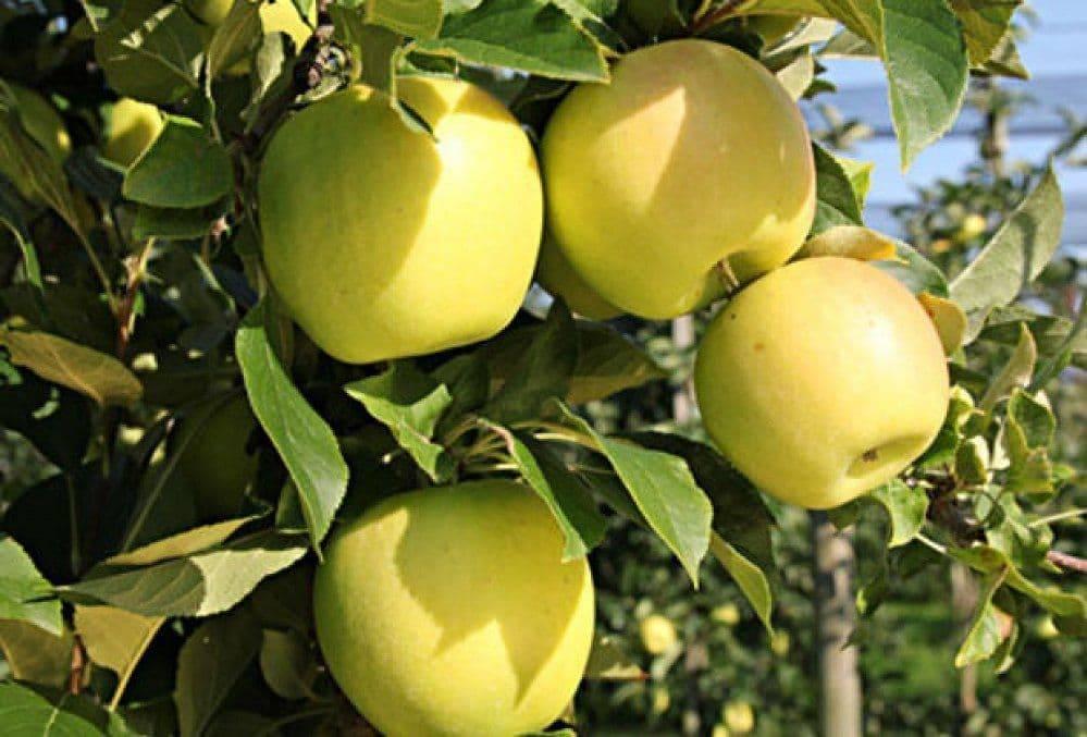 Яблоня голден: описание сорта, фото, отзывы, разновидности