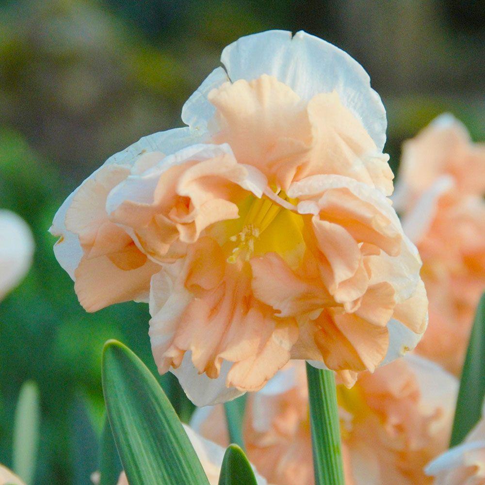 Нарциссы дома в горшке: посадка и уход, ускоренная выгонка к 8 марта, новому году пошагово