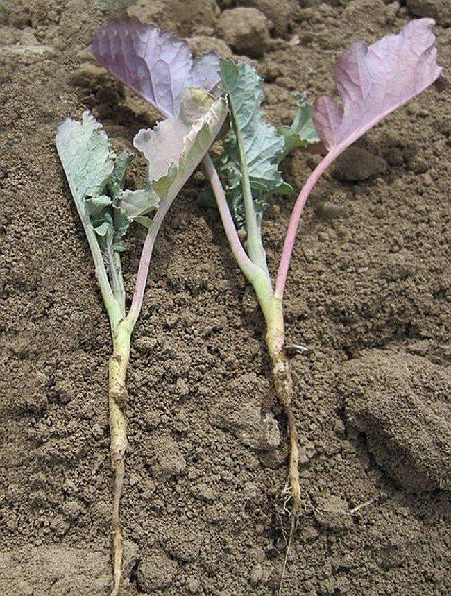 Причины, почему не растет капуста и что делать, ошибки в уходе