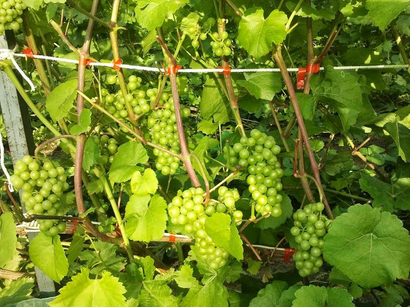 Платовский сорт винограда — как вырастить?