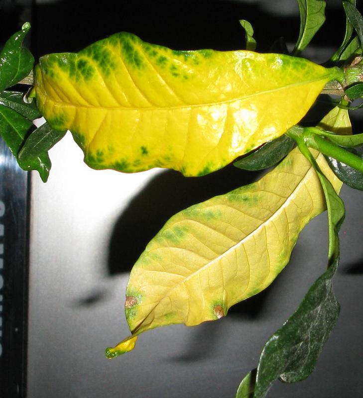 Почему желтеют листья у клеродендрума и что делать, если они опадают: как спасти растение, какие профилактические меры необходимы, а также другие болезни цветка русский фермер