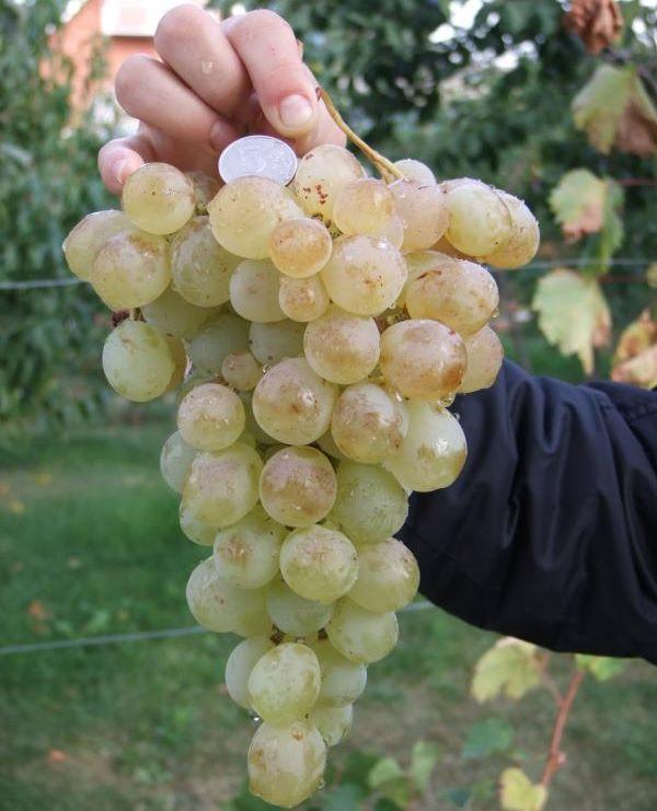 Виноград антоний великий. основные характеристики и уход