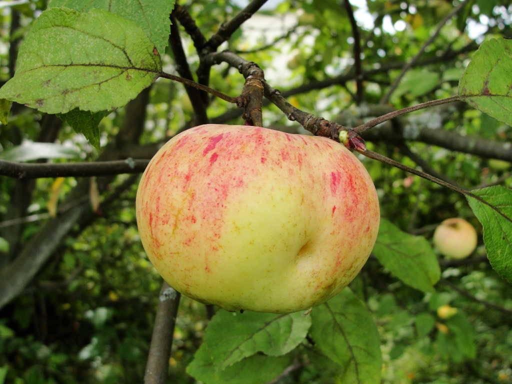 Описание яблони сорта Коричное полосатое, особенности выращивания