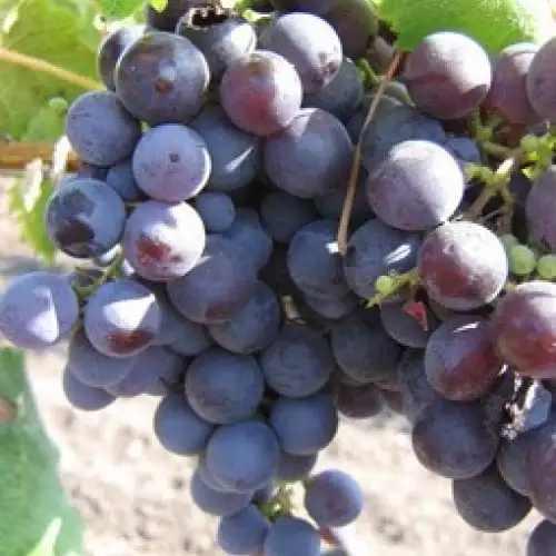 Ранние сорта винограда с фото и описанием