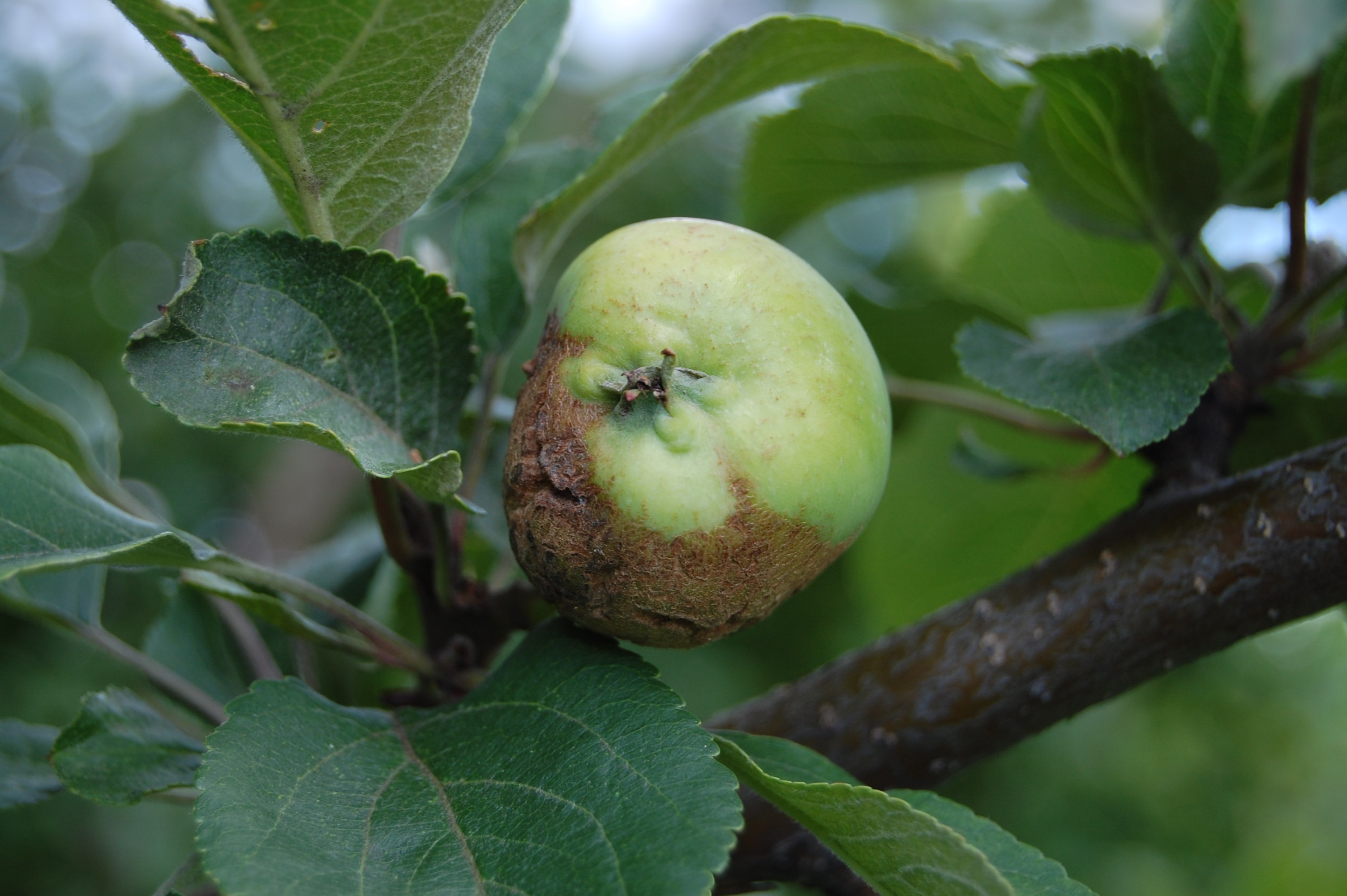 Болезни яблони: черный рак описание и фото на supersadovnik.ru